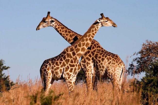 Two giraffes out in nature, photographed at an African game reserve