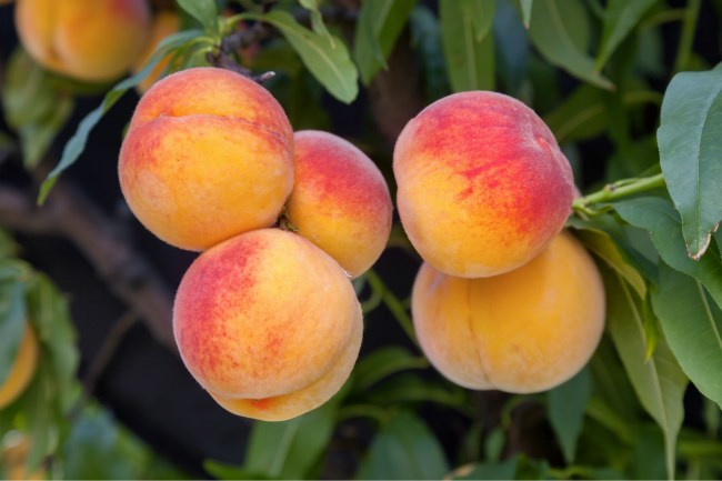 Peaches on a tree at Camdeboo Peach Farm