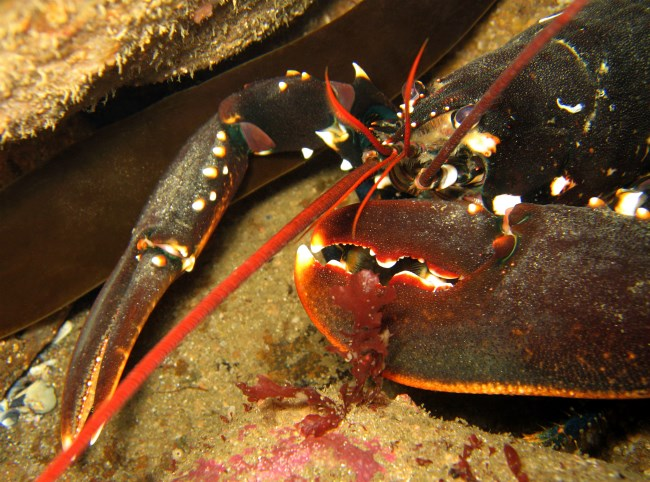 Image of lobster